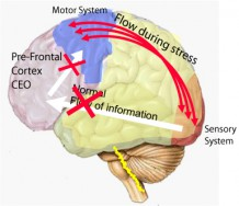 "/><strong>Functioning of the brain under stress.</strong><br /> In a state of stress, this information flow changes.  The information no longer passes through the pre-frontal cortex, but goes directly from the sensory system to the motor system.</p> <p>And there is a very good reason why we have been designed and have evolved like this.  For example when we cross the street and a car approaches, we don't want a situation where we will take time to think what we should do.  We need to jump out of the way immediately, impulsively.  There is no time to think.  The mechanism of shutting down the pre-frontal cortex under stress, exists to protect us.</p> <p>This mechanism was not intended for situations of chronic stress though.  When people are stressed continuously, then the pre-frontal cortex is disabled permanently.  In this case, thinking automatically becomes short-sighted and impulsive.  Understanding intellectually that alcohol is bad will probably not have any effect, because at the time the urge for alcohol comes, the part of the brain that is responsible for correctly evaluating the long-term effects of alcohol consumption is actually disabled.</p> <p>And the consumption of alcohol itself aggravates this effect.  We can measure how alcohol consumption can even permanently shut down parts of the pre-frontal cortex. In this case, we get ""functional holes"" in the brain, parts of the brain that are no longer active, as shown in scans from this article of the <a href="